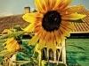 Słonecznik w Sidorkach