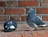 Zaloty gołębi