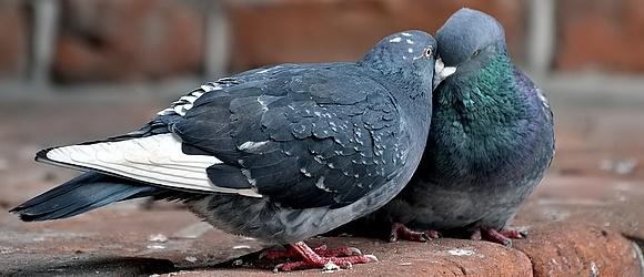 Seksmisja, czyli jak wyglądają zaloty gołębi
