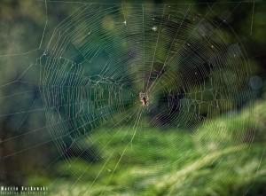 Pajęczyna z pająkiem w Zalesiu Dolnym