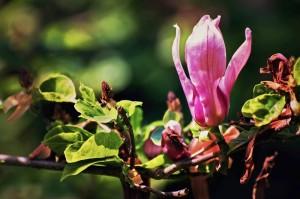 Magnolie w ogrodzie Sylwii